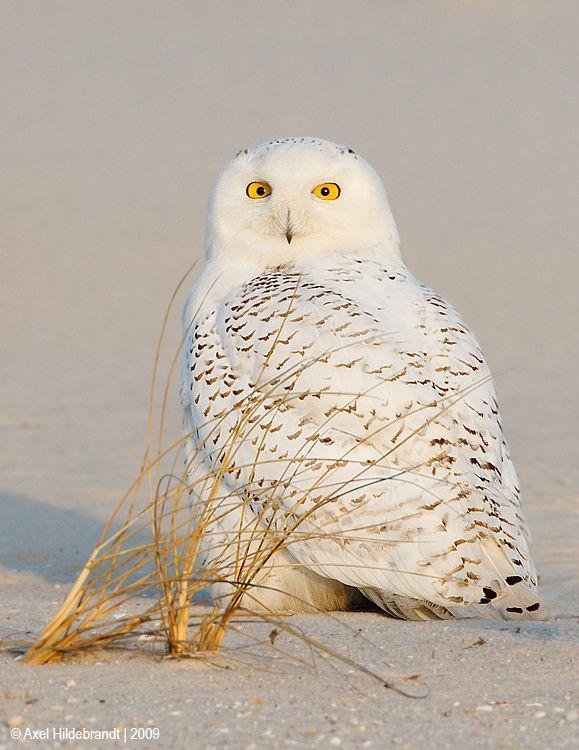 axel-hildebrandt_snowy-owl.jpg
