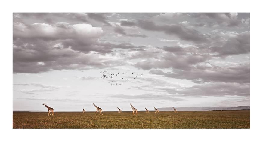 giraffa-camelopardalis_african-vista-by-klaus-tiedge.jpg