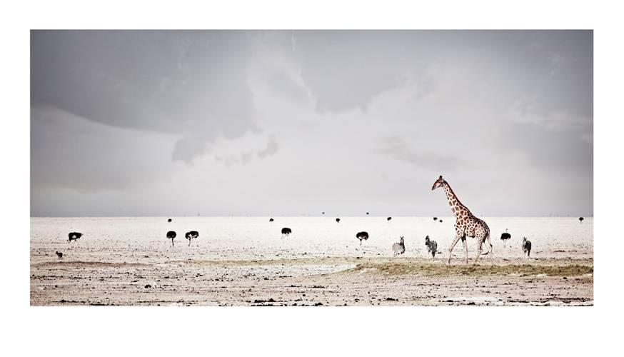 giraffa-camelopardalis_harmony-by-klaus-tiedge.jpg