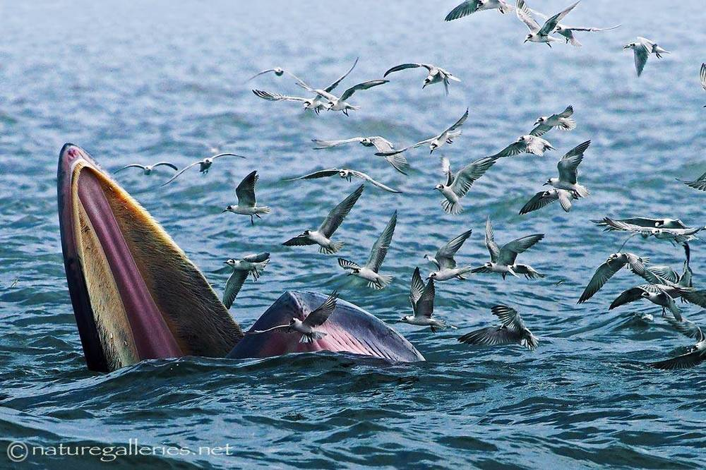 sompob-sasi-smit_bryde-whale.jpg