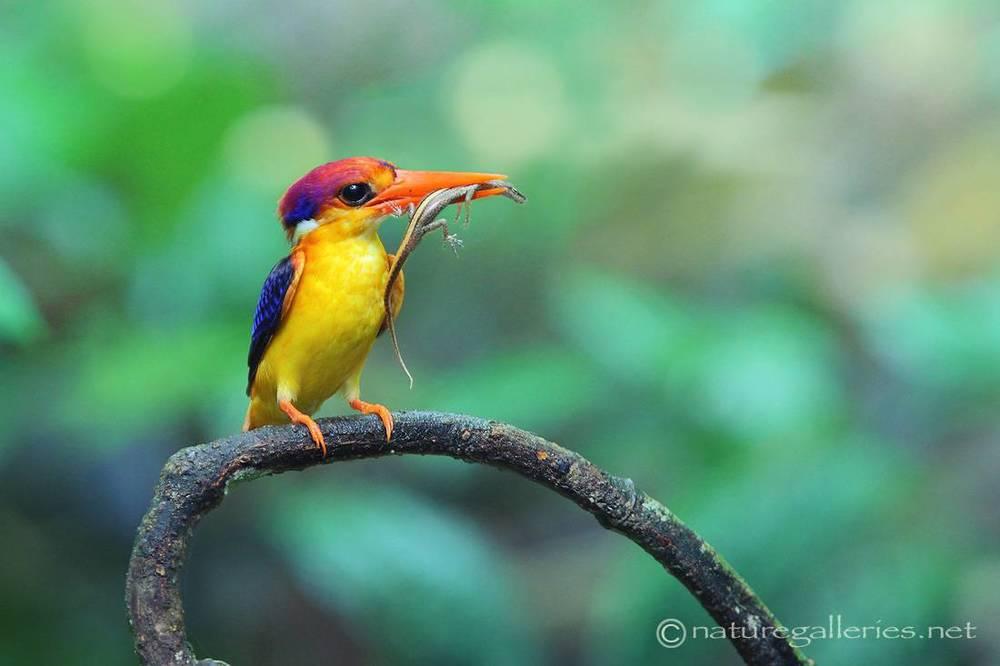 sompob-sasi-smit_kingfisher.jpg