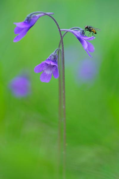 werner-bollmann-common_butterwort.jpg