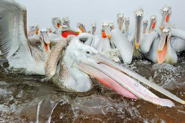 werner-bollmann-dalmatian_pelicans.jpg