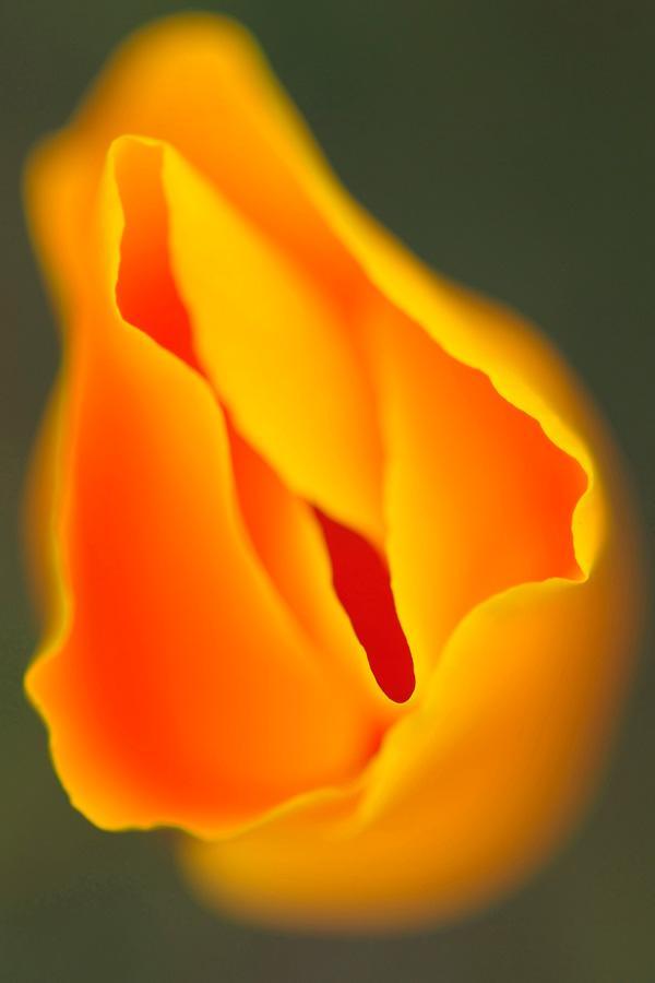 werner-bollmann-golden_poppy.jpg