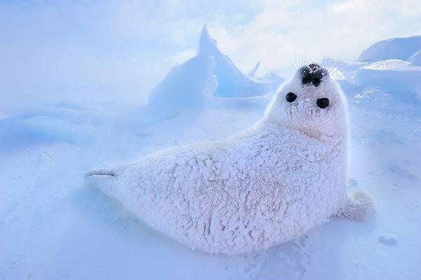 werner-bollmann-harp_seal_pup.jpg
