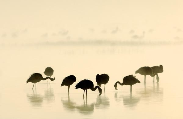 werner-bollmann-lesser_flamingoes.jpg