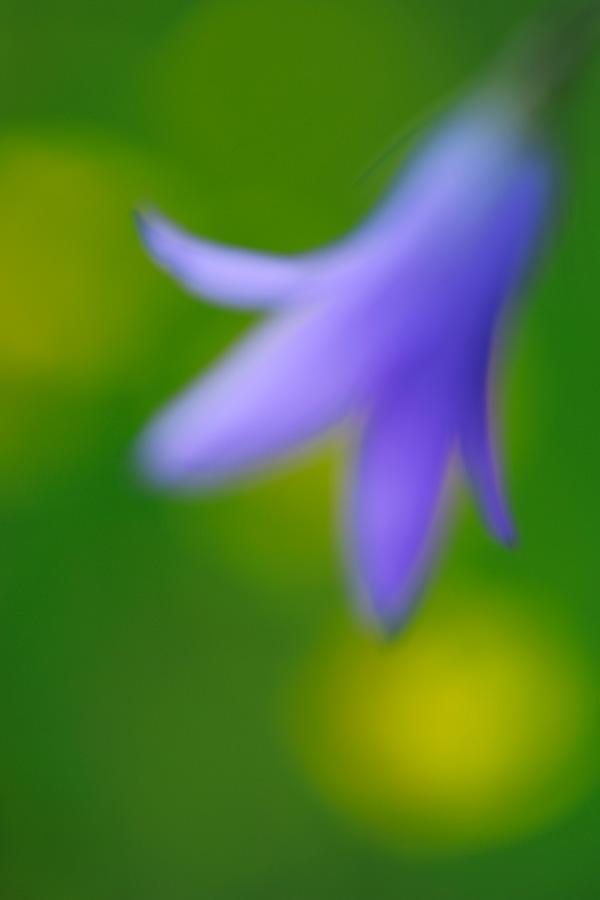 werner-bollmann-spreading_bellflower.jpg