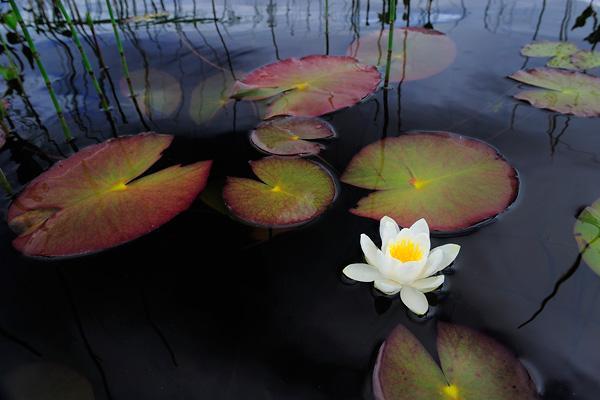 werner-bollmann-water_lily.jpg