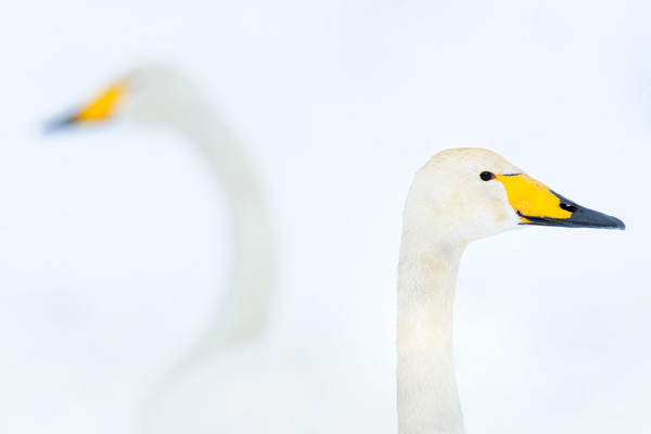 werner-bollmann-whooper_swans.jpg