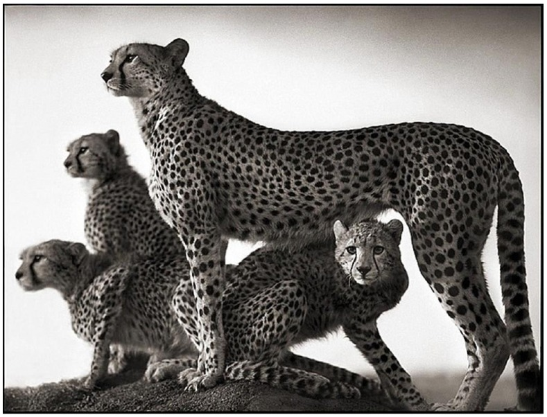 Cheetah and Cubs, Maasai Mara, 2003