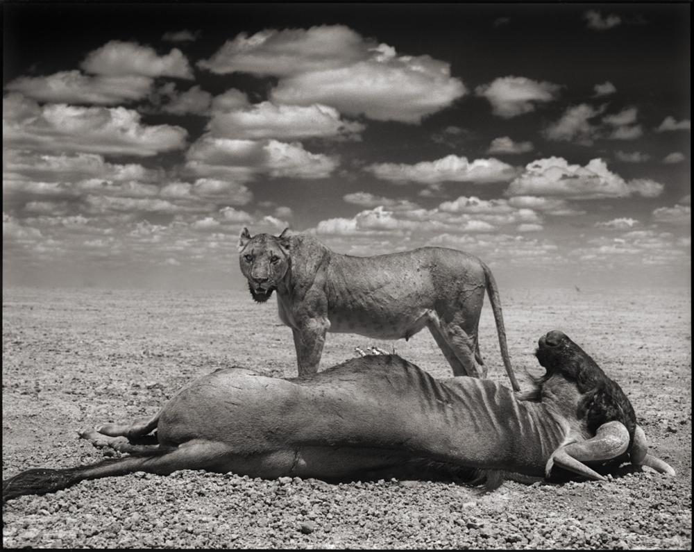 Lion & Wildebeest, Amboseli, 2012