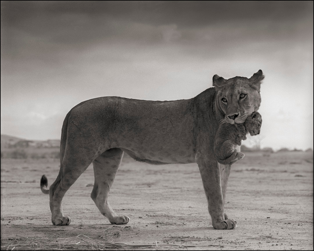 Lioness With Cub In Mouth, Amboseli, 2012