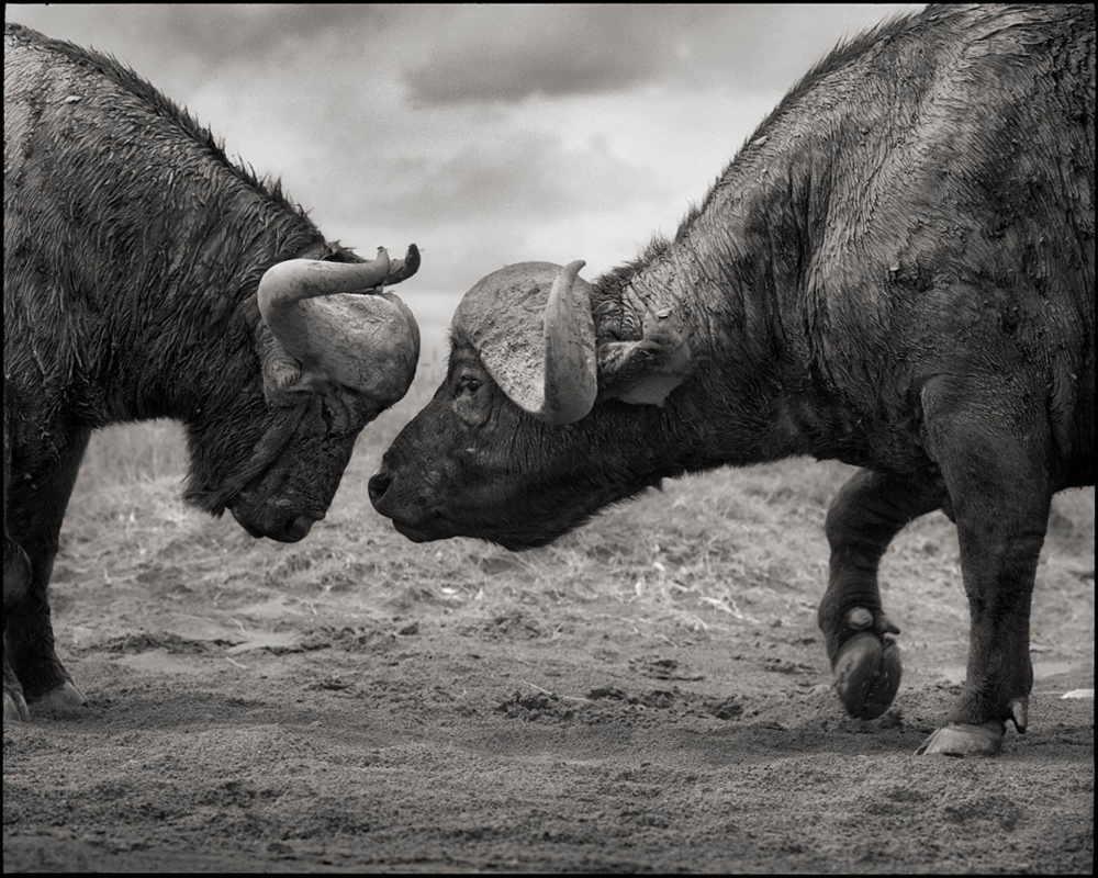 Buffalos Head to Head, Lake Nakuru, 2011