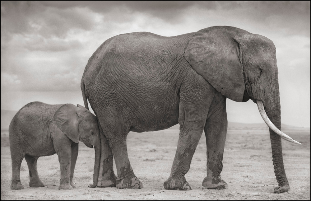 Elephant Mother with Baby at Leg, Amboseli, 2012