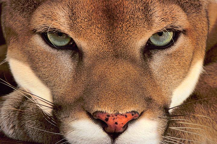 Cougar Face - Frans Lanting