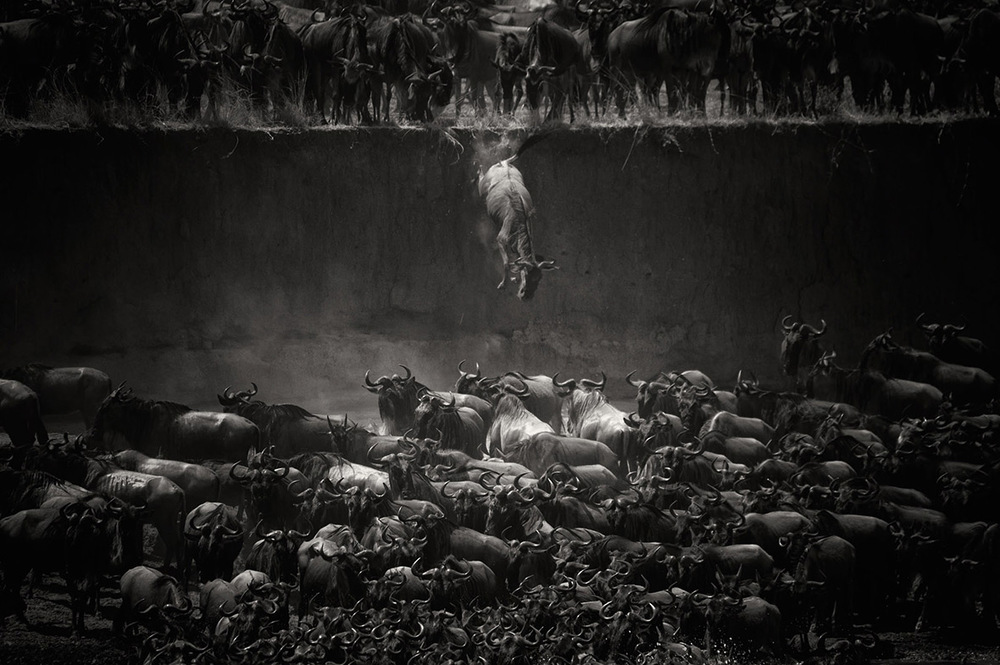 Nature Winner Nicole Cambre, Brussels, Belgium The Great Migration -Jump of the wildebeest at the Mara River