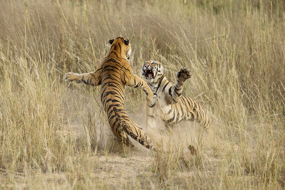 Honourable Mention Nature Muscle Power, Archna Singh, Bandhavgarh National Park, Madhya Pradesh, India.