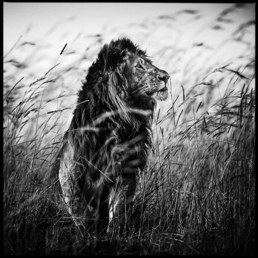 Lion in the grass, Kenya, 2013