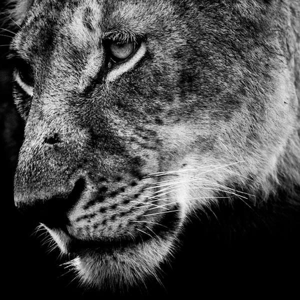 Lioness, Masai Mara, Kenya, 2006