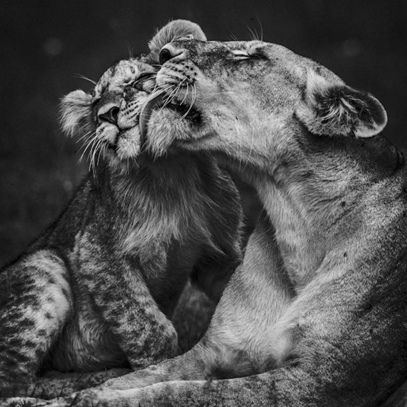 Lioness and her cub, Masai Mara, Kenya, 2006