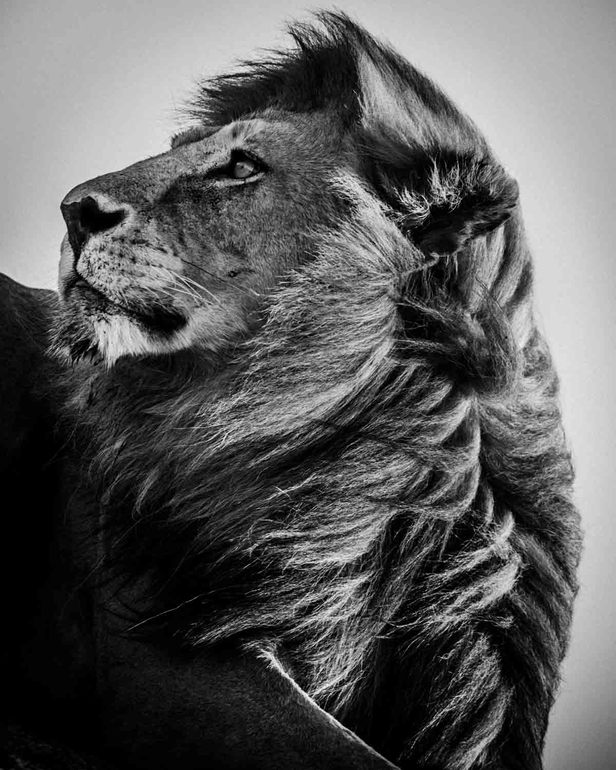 black and white wildlife portraits by laurent baheux photography