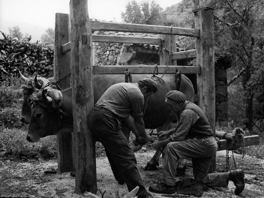 Ferrage de boeufs Philippon, commune de Chazelles, Langeac, Août 197.© Robert Doisneau
