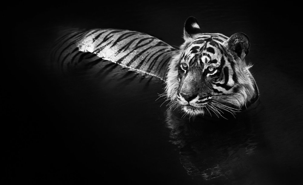 David Yarrow - The Killer, Ranthambore National Park, India 2013.
