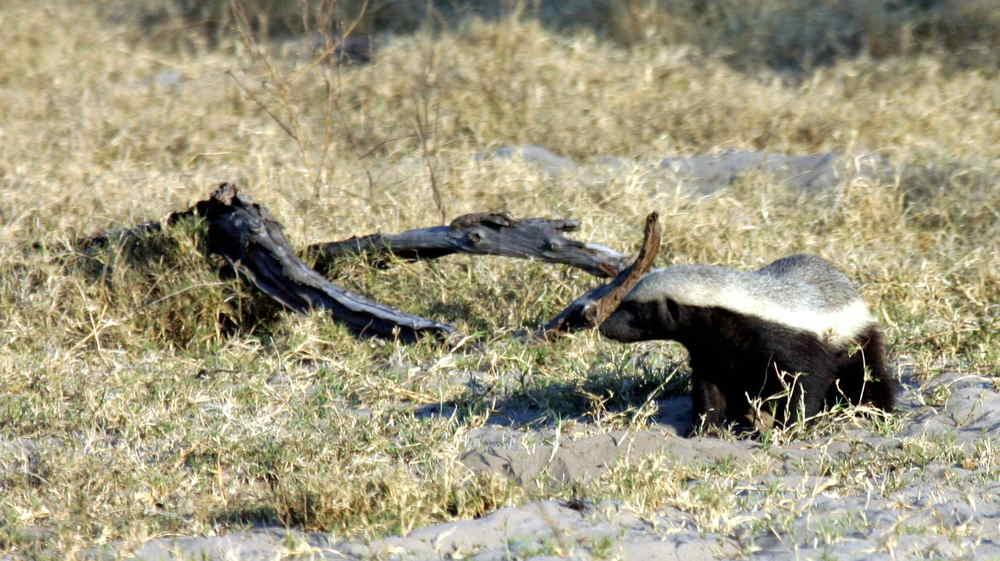 41-Badger-1359.jpg