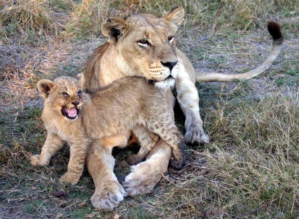 53-Lion-1497.jpg