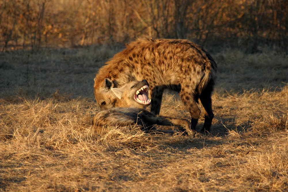 69-Hyena-1274.jpg