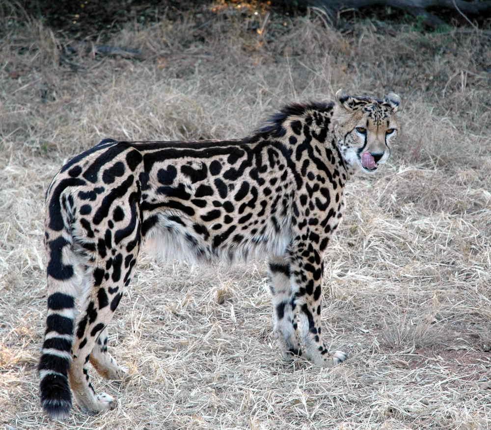 99-CheetahKing_0116.jpg