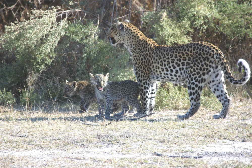 60-Leopard_1415.jpg