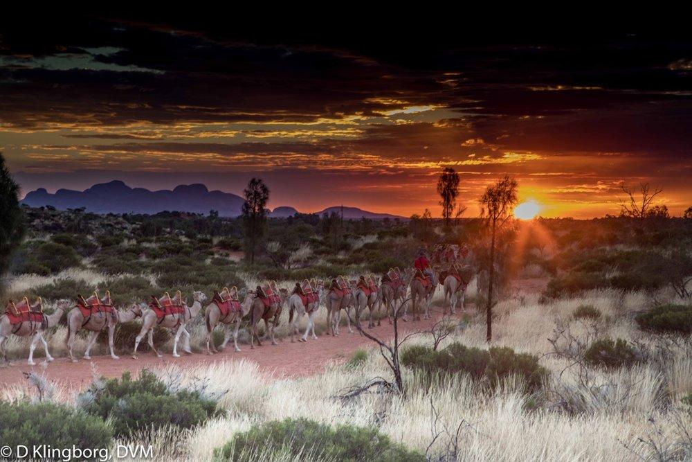 A camel parade