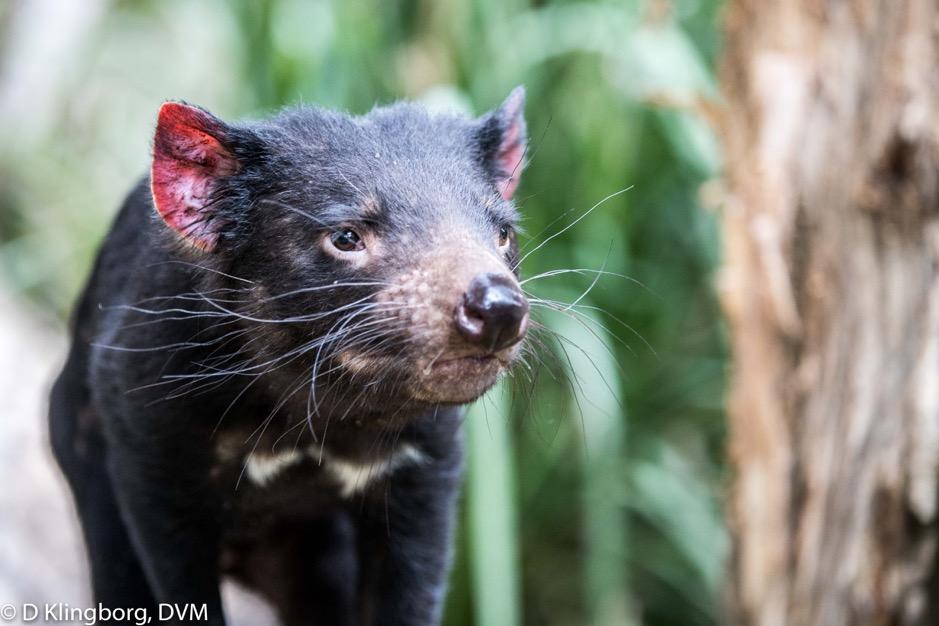 A Tasmanian Devil!