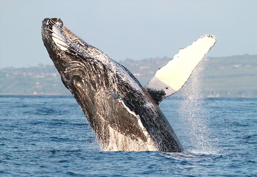 humpback-whale-watch-maui-ocean-840x580.jpg
