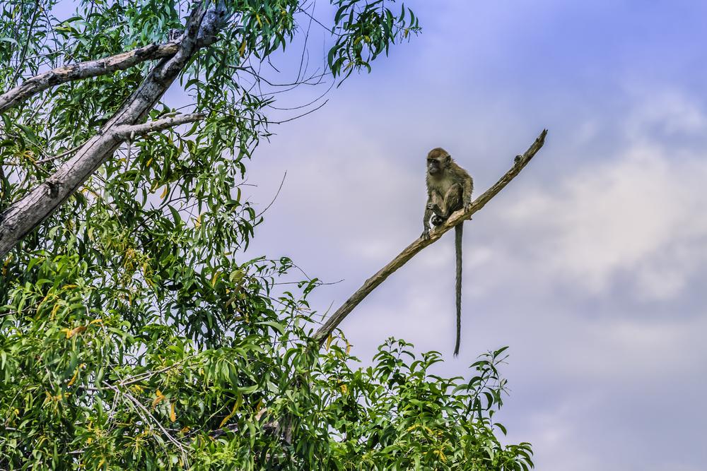Monkey's Tail