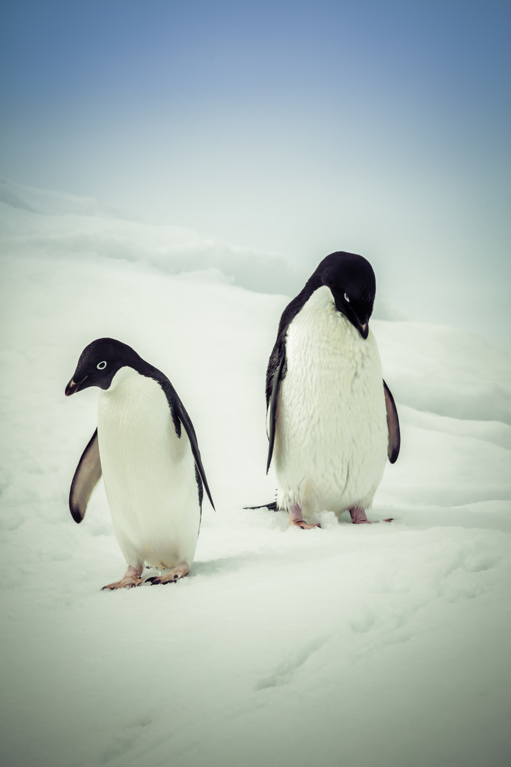 Pair of Adélie penguins.