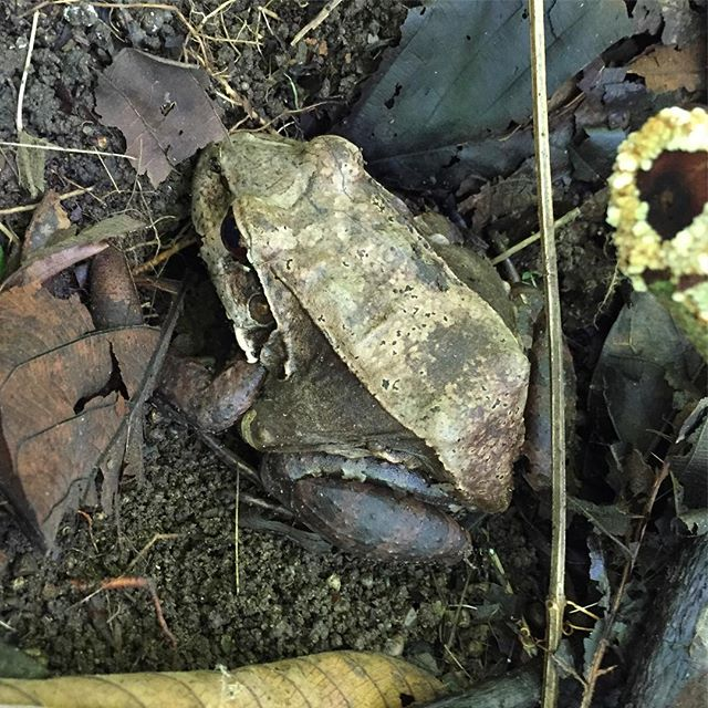 #forestfrog hidden in the leaf litter #camoflauge #defensestrategy #osaclandestina