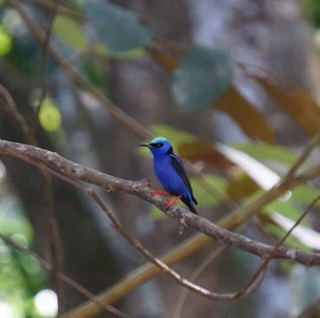 Red-legged honeycreeper. Our favorite type of #creeper ;) #osaclandestina