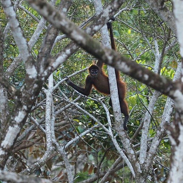 #monkeymondays #spidermonkey #monocolorado