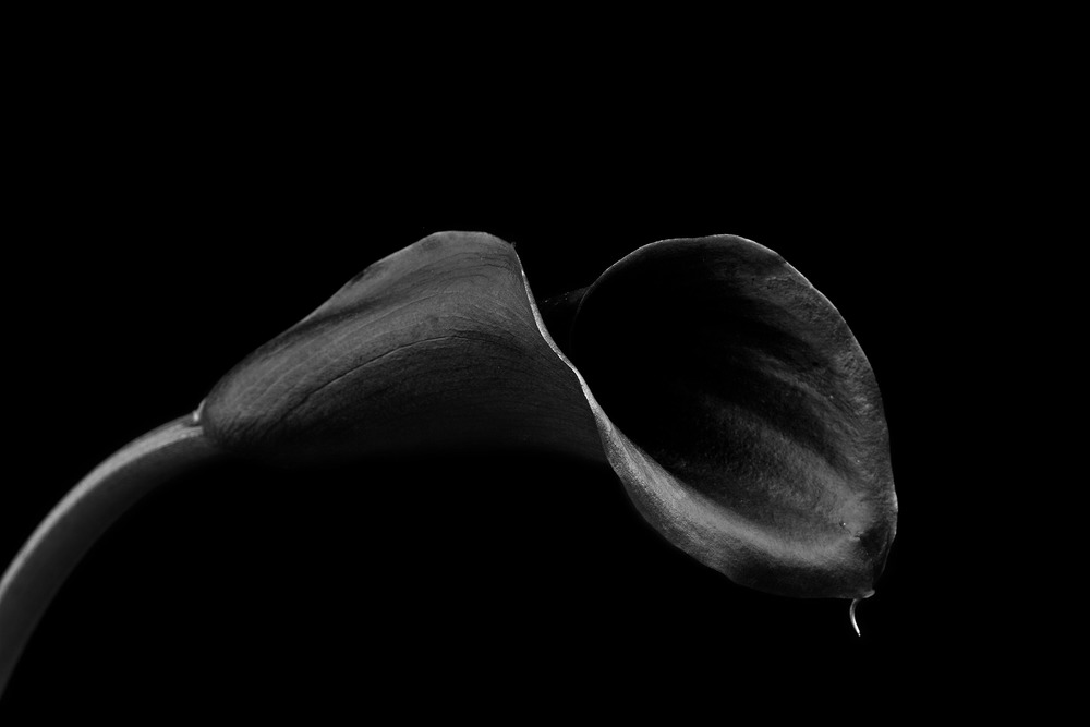 Black calla lilies have many symbolic meanings and are one of my personal favorite flowers