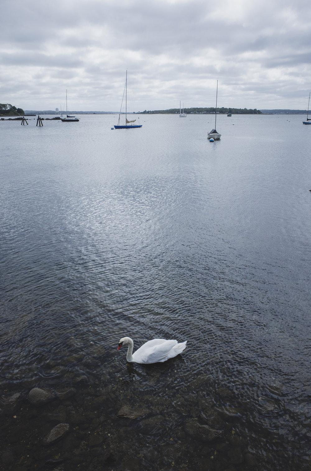 Swan season
