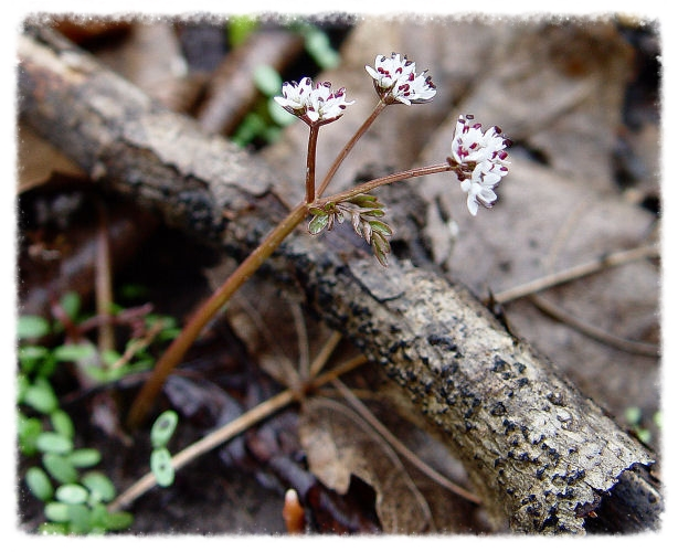harbinger-of-spring,  Erigenia bulbosa    photograph courtesy of Lisa K. SchlaG