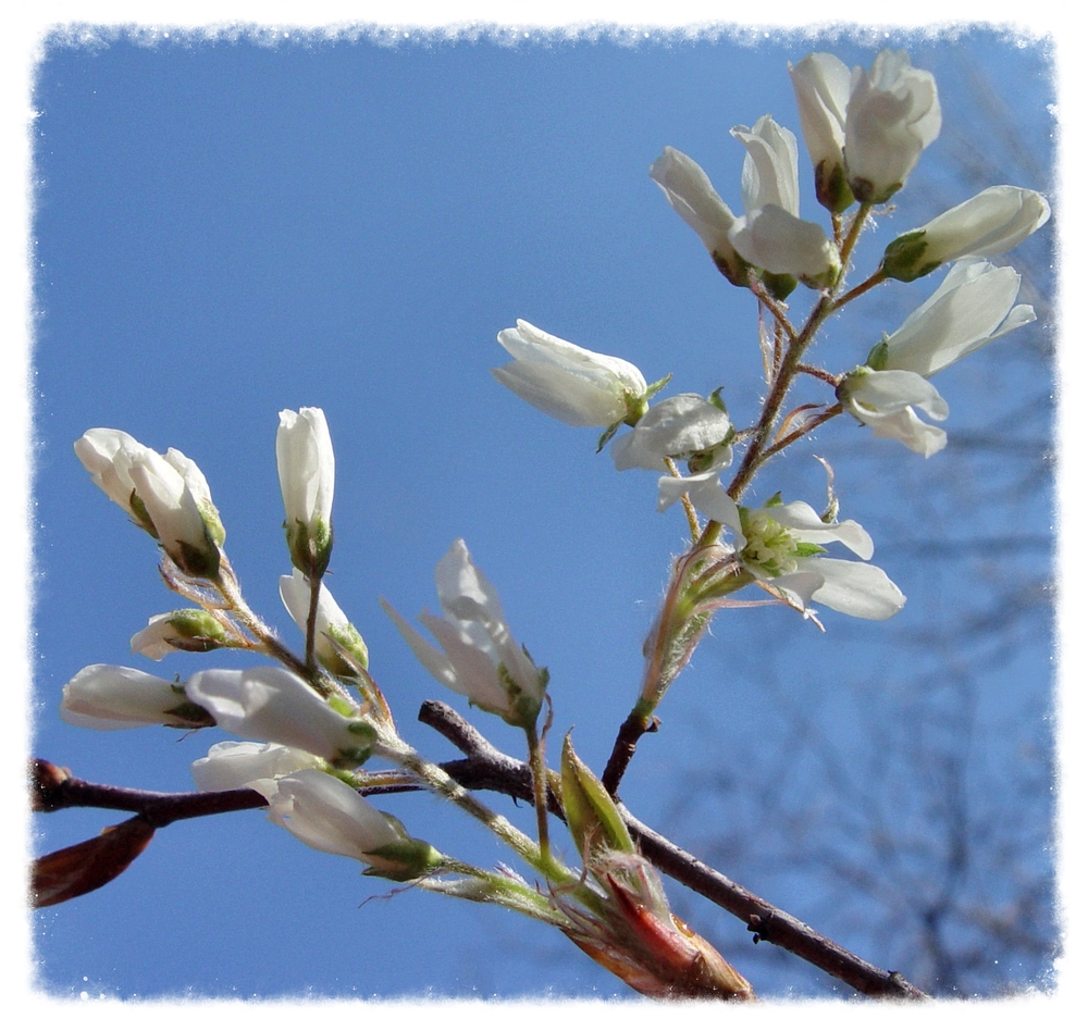 Serviceberry, Amelanchier sp.                                                                            photograph courtesy of Lisa K. SchlaG    Spokan Swamp 2014