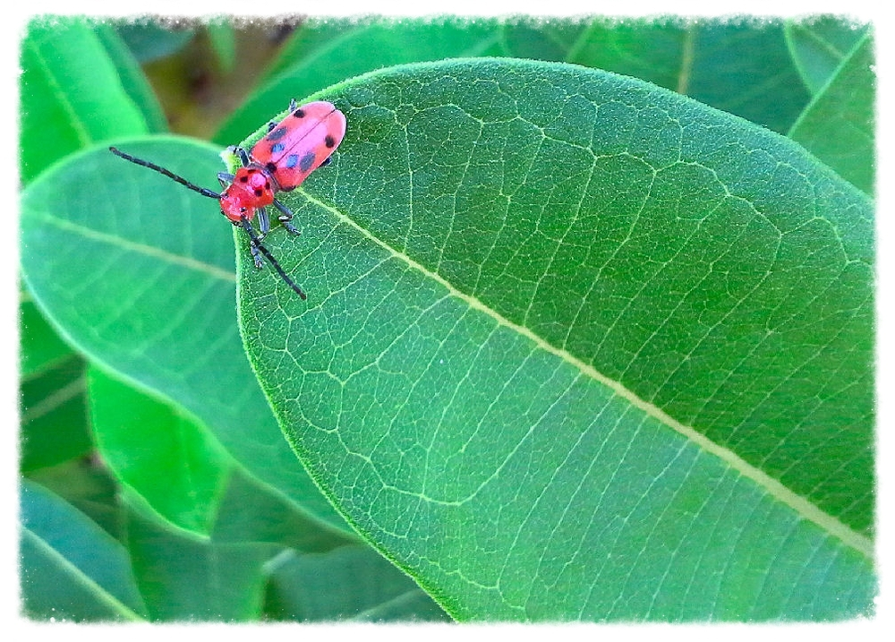 Red Milkweed Beetle,  Tetraopes tetrophthalmus    photographed at Cleveland Metropark -- Garfield Park garden by Lisa K. SchlaG, 2014