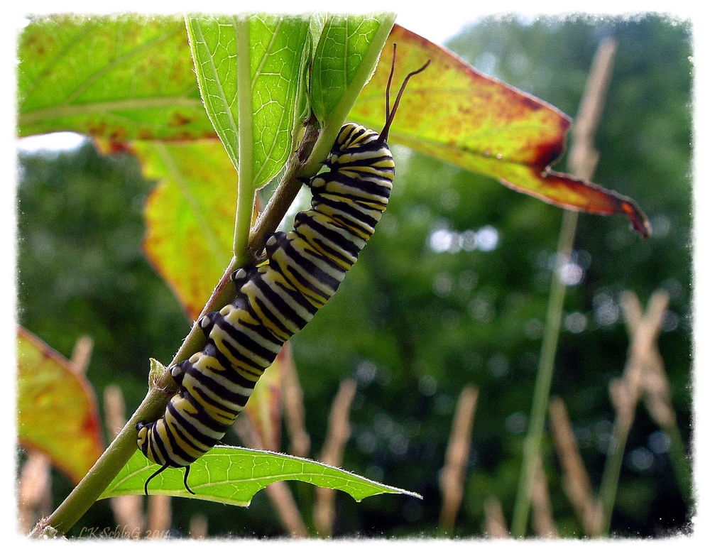 Monarch,  Danaus plexippus , caterpillar on common milkweed   photographed along Tinker's Creek by Lisa K. SchlaG during a Cleveland Metropark: Woodland's of Bedford hike led by   Mr. Fred Losi   at Bedford Reservation, 27 July 2014