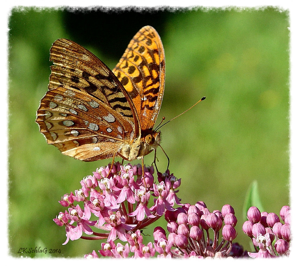 Great Spangled Fritillary,  Speyeria cybele    photograph courtesy of Lisa K. SchlaG