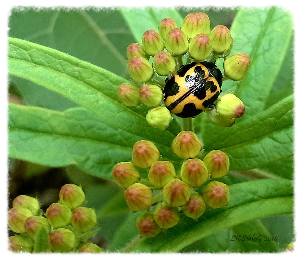 Milkweed Leaf Beetle,  Labidomera clivicollis    photographed at Cleveland Metropark -- Garfield Park garden by Lisa K. SchlaG, 2014