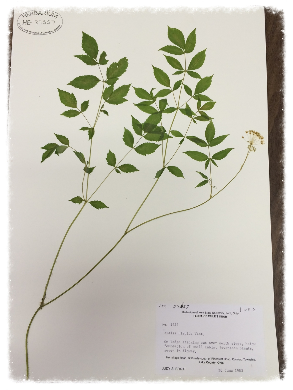 Aralia hispida , bristly sarsaparilla, specimen collected by Judy Bradt during her graduate studies research in the field.  Close-ups of   A. hispida    specime n and  label .   Courtesy of The Cleveland Museum of Natural History, Trish Fox, Herbarium Coordinator