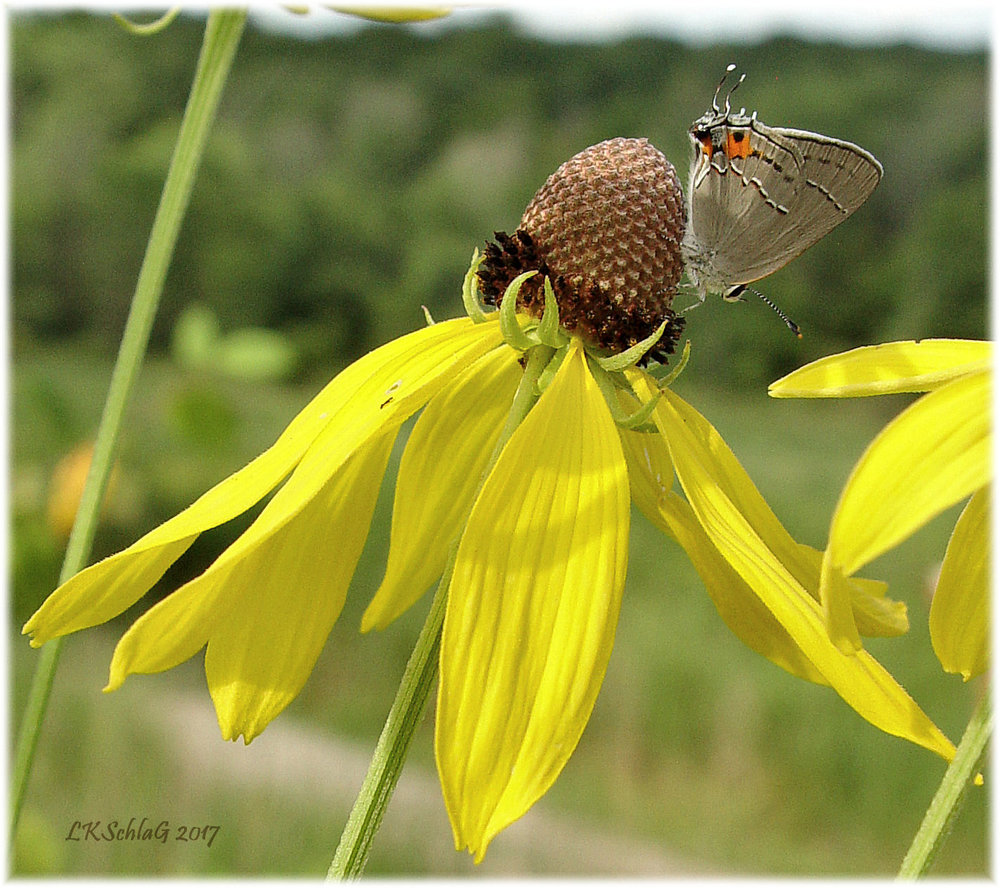 Gray hairstreak  butterfly  perching on  gray-headed coneflower ,   Ratibida pinnata  ,  The Wilderness Center , Stark County 15 July 2017, Lisa K. Schlag  This Ohio native plant has many common names:  gray-headed coneflower, gray-head prairie coneflower, yellow coneflower ....  The  USDA Plants database  recognizes only pinnate prairie coneflower as a common name.  For more information:   USDA Plants Fact Sheet